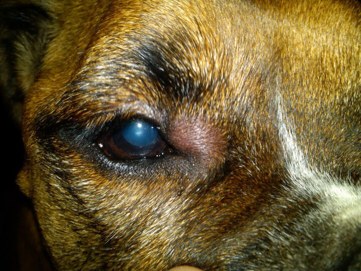 Bee Bite On Dog Eye